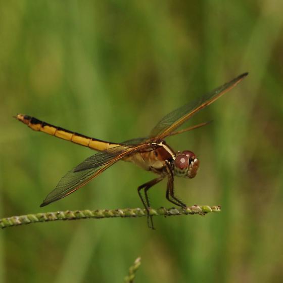 Dragonfly - Libellula needhami