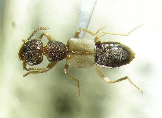 Rugilus ceylonensis - Rugilus ceylanensis