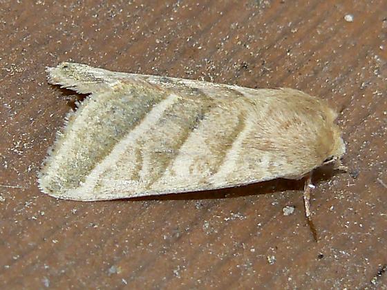 Heliothis subflexa - Hodges #11070  - Chloridea subflexa