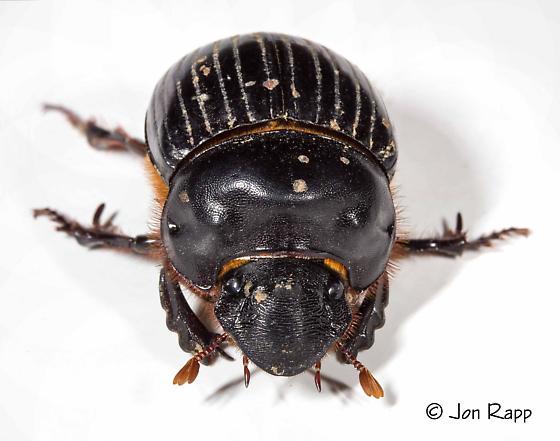 Dung Beetle - Dichotomius carolinus