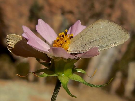 Chrysoecia thoracica
