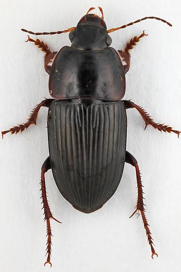 Ground Beetle - Anisodactylus dulcicollis - male