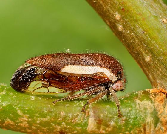 Hopper ID - Ophiderma flavicephala - female