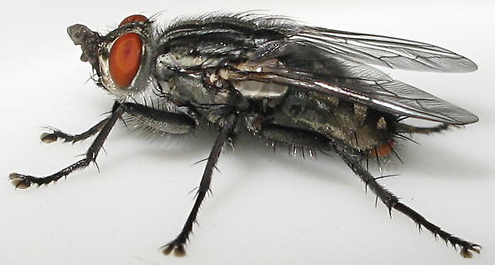 Sarcophagidae - Sarcophaga - male