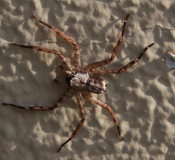 Selenopid spider - Selenops