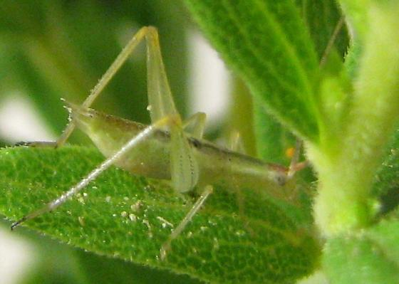 Different-horned female 4th stage instar - Oecanthus varicornis - female