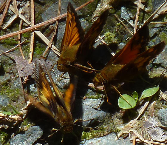 Skippers, orange and black, 3 of them - Poanes hobomok