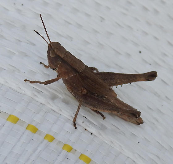 grasshopper - Dichromorpha viridis - female