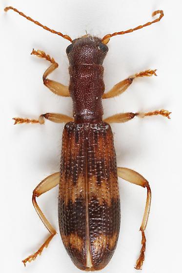 Checkered Beetle - Cymatodera undulata