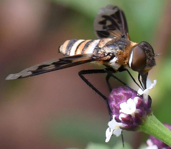 Exoprosopa sp. - E. fascipennis? - Exoprosopa fascipennis