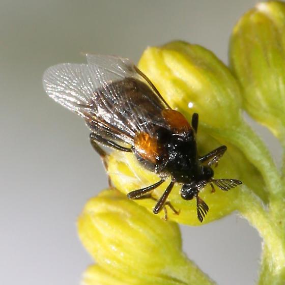 Ripiphoridae - Ripiphorus - female