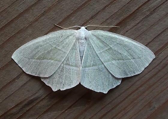 Geometridae: Campaea perlata - Campaea perlata
