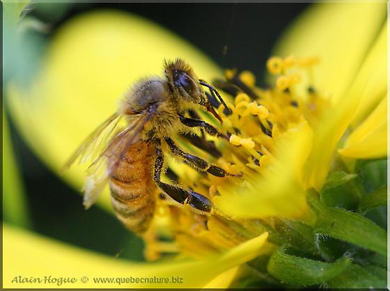 Bee sp - Apis mellifera - female