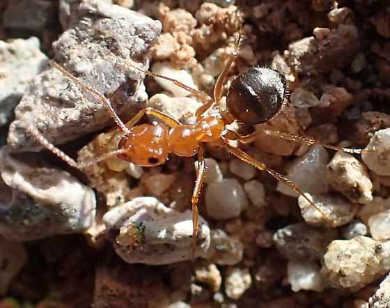 Ant nest in desert wash - Myrmecocystus