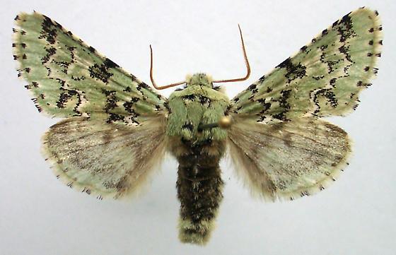 Major Sallow - Feralia major