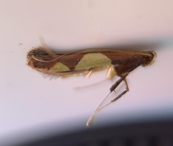 Caloptilia bimaculatella - Hodges#0595 - Caloptilia bimaculatella - female