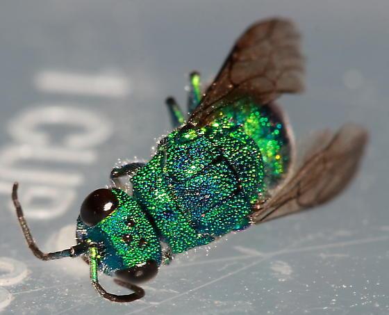 Cuckoo Wasp ? - Chrysis - female