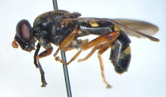 Temnostoma trifasciatum - male