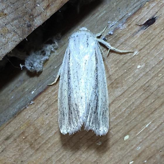 Unknown moth - Leucania extincta