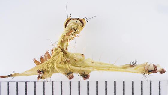 Polyphemus, a shed - Antheraea polyphemus