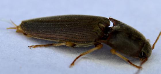 05- Click Beetle - Conoderus exsul - male