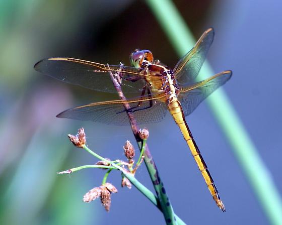 Needham's Skimmer - Libellula needhami - male