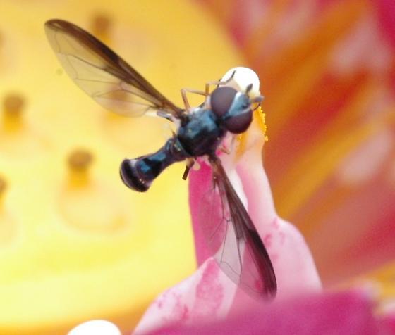 Ocyptamus sp. - Pelecinobaccha costata
