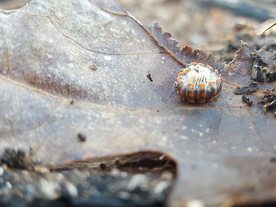 Euryurus leachii, Leach's Millipede?