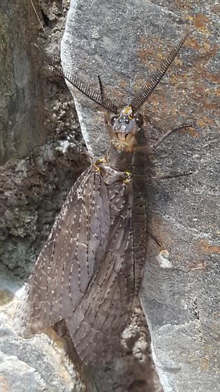 Spring Fishfly (Chauliodes rastricornis)? - Chauliodes pectinicornis