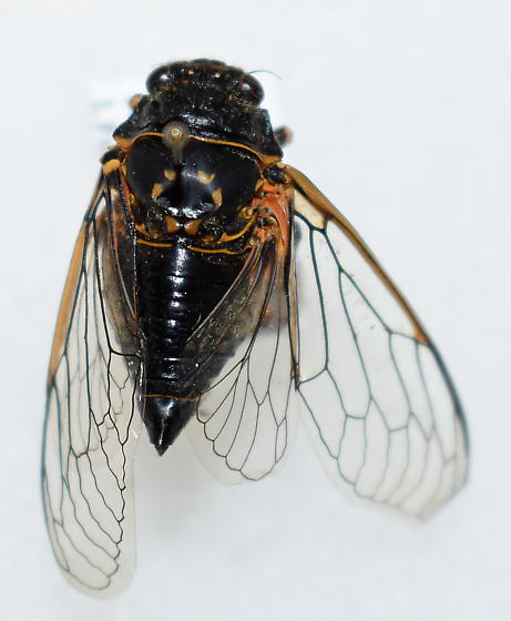 which cicada?  - Okanagana bella