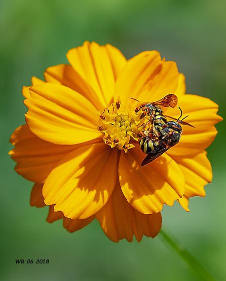 Busy bees - Dianthidium curvatum