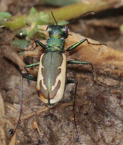 Variable Tiger Beetle - Parvindela terricola