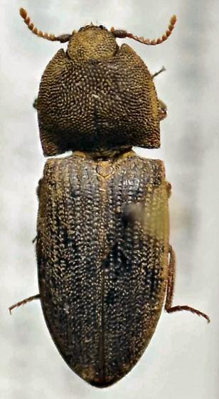 Elateridae - Agrypnus rectangularis