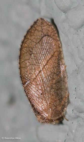 Megalomus angulatus