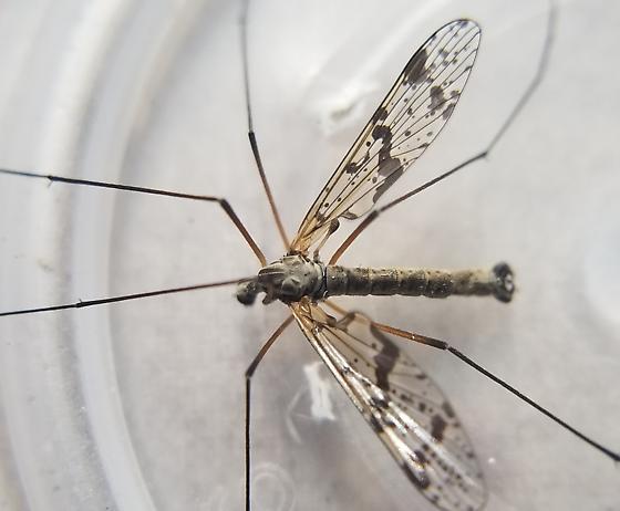 Small Crane Fly - Protanyderus vipio - male
