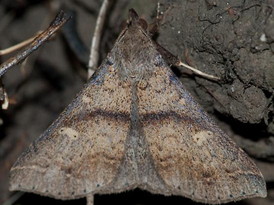 moth triangle - Renia adspergillus