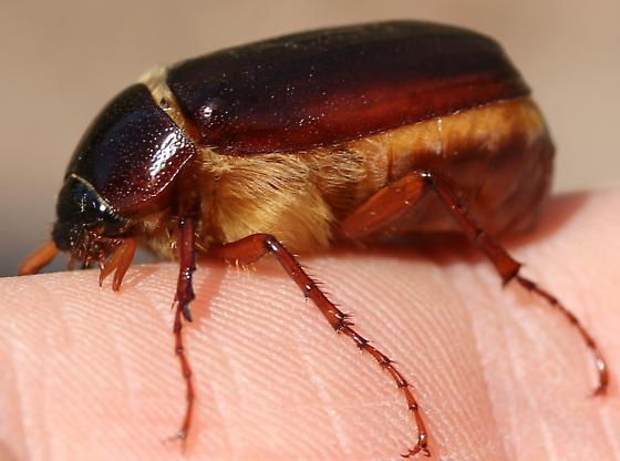 Scarabaeidae- plenty of angles available at request - Phyllophaga
