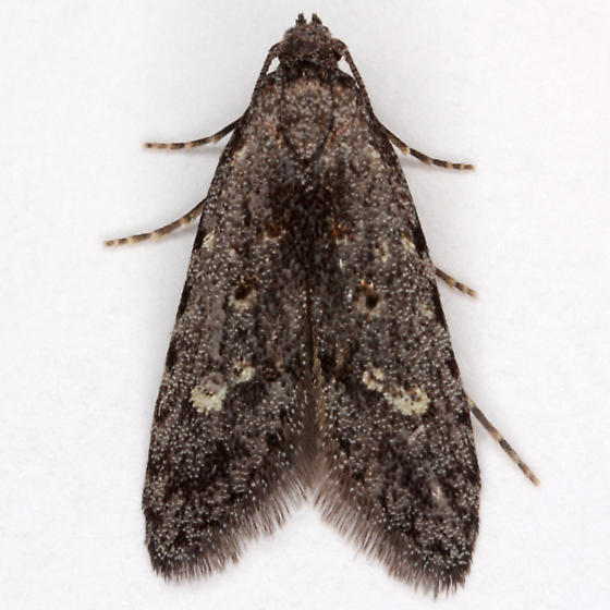 Unknown moth - Bondia shastana