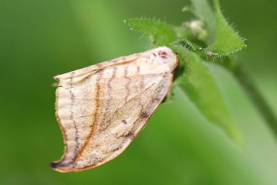 Moth - Drepana arcuata
