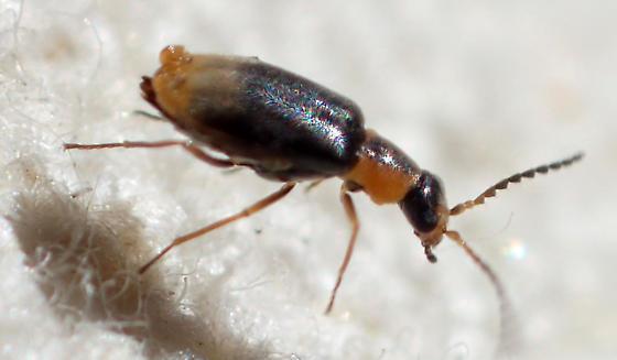 Malachiinae with ? vesicles on posterior abdomen