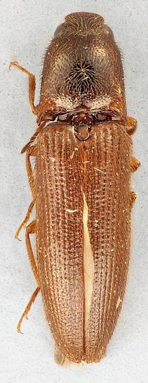 click beetle - Dipropus soleatus