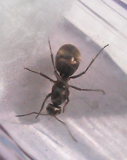 Formica Queen???? - Formica subsericea - female