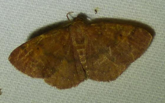 Ilexia intractata - Black-dotted Ruddy Moth - Ilexia intractata