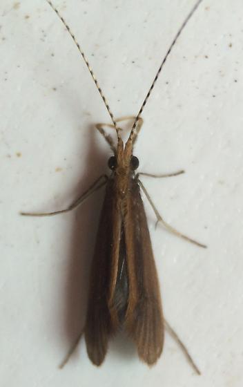 Caddisfly - Triaenodes aba - male
