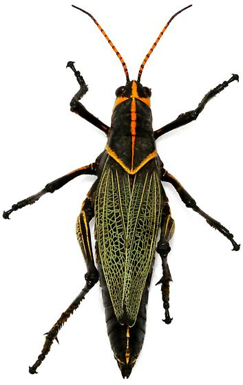 Female, Taeniopoda eques? - Taeniopoda eques - female