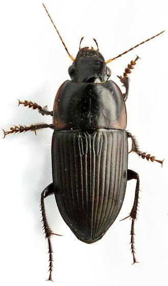 Anisodactylus haplomus - male