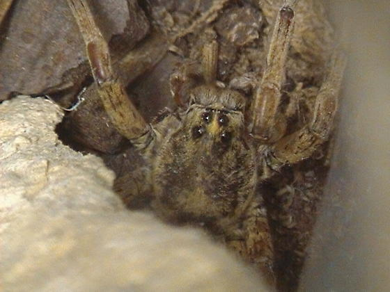 Hogna Wolf Spider Identification - Tigrosa grandis - male