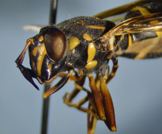 Syrphid - Sphiximorpha willistoni