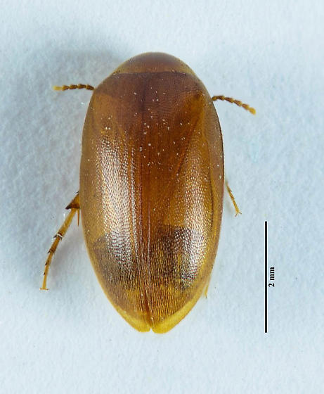 Scirtid... - Nycteus infumatus