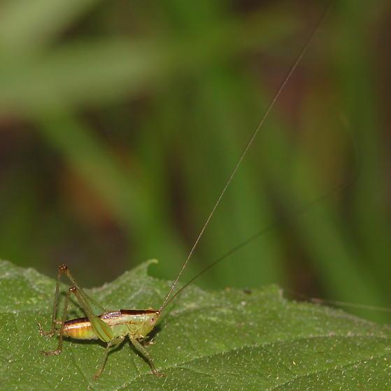 Meadow katydid nymph